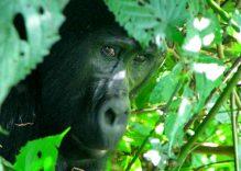 Kenya – Uganda Turu, Sisteki Goriller