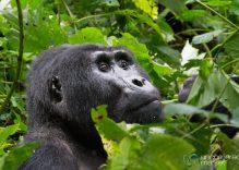 Goril Yürüyüşü Hakkında Bilmeniz Gereken Her Şey
